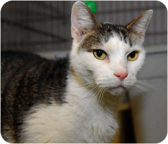 Domestic Shorthair Cat for adoption in New York, New York - Babbo