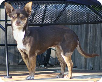 Chihuahua Mix Dog for adoption in Dallas, Texas - Jessie