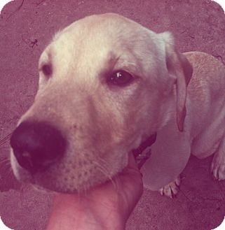 Labrador Retriever Puppy for adoption in Richmond, Virginia - Buddy