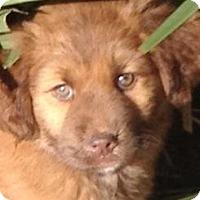 Adopt A Pet :: BROOKE - Torrance, CA