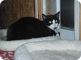 Domestic Shorthair Cat for adoption in Whiting, Indiana - Alex