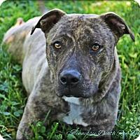 Adopt A Pet :: Brindy - Mount Juliet, TN
