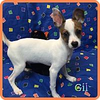 Adopt A Pet :: Gil - Hollywood, FL