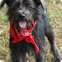 Adopt A Pet :: Phoebe - Cranford, NJ