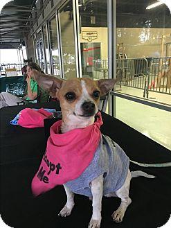 Chihuahua Mix Dog for adoption in Seattle, Washington - Bobby