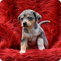 Adopt A Pet :: Monet - Charlemont, MA
