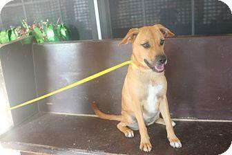 Boxer/Spaniel (Unknown Type) Mix Dog for adoption in San Antonio, Texas - Rea