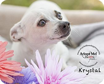 Chihuahua Dog for adoption in Inland Empire, California - KRYSTAL