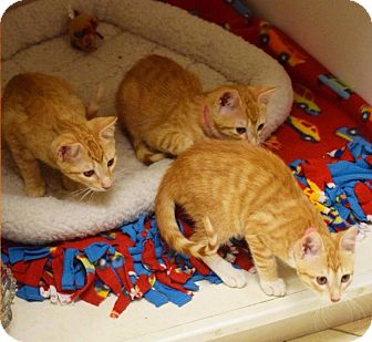Domestic Shorthair Kitten for adoption in Dallas, Texas - Dawn