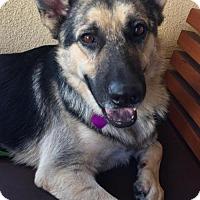 German Shepherd Dog Dog for adoption in Newport Beach, California - Maximus