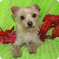 Adopt A Pet :: Rose Petal - Phelan, CA