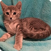 Domestic Shorthair Kitten for adoption in Grove City, Ohio - Lyric