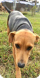 Rat Terrier/Feist Mix Dog for adoption in Cranston, Rhode Island - PRINCESS