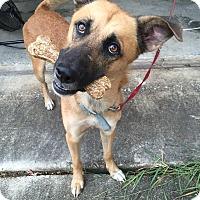 Adopt A Pet :: D'Artangnan - San Antonio, TX
