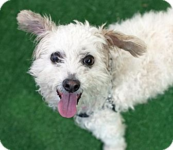 Poodle (Miniature) Mix Dog for adoption in San Diego, California - Smiley