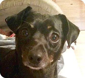 Chihuahua/Dachshund Mix Dog for adoption in Bloomington, Illinois - Mojo