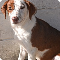 Labrador Retriever/Hound (Unknown Type) Mix Dog for adoption in Beaumont, Texas - Presley