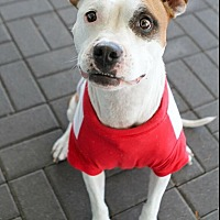 American Staffordshire Terrier/Boxer Mix Dog for adoption in Jacksonville, North Carolina - Medina