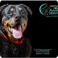 Rottweiler Dog for adoption in Camarillo, California - *CONNIE