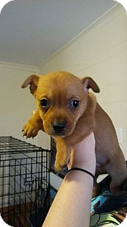 Chihuahua Puppy for adoption in Monroe, North Carolina - Cassian