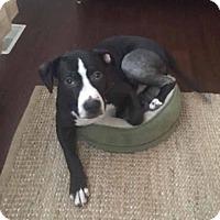 Adopt A Pet :: Apollo - Anchorage, AK