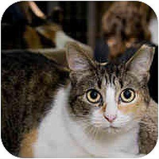 Calico Cat for adoption in Round Rock, Texas - Callie