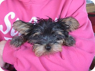 Yorkie, Yorkshire Terrier Puppy for adoption in Greenville, Rhode Island - Blair