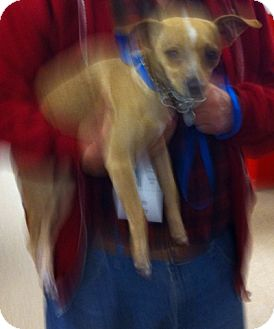 "Chihuahua Mix Dog for adoption in Loudonville, New York - Chico (aka ""Bobby"")"