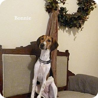 Greyhound/Beagle Mix Dog for adoption in Bedminster, New Jersey - Bonnie