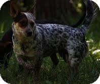 Jack Russell Terrier/Australian Cattle Dog Mix Dog for adoption in Staunton, Virginia - Athena($200 adoption fee)