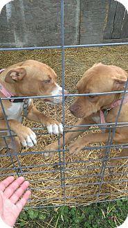 Pit Bull Terrier Dog for adoption in North, Virginia - Chelsie/ Olivia