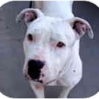 Adopt A Pet :: Blue - Scottsdale, AZ