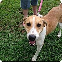 Adopt A Pet :: Honey - Hampton, VA