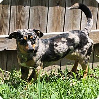 Adopt A Pet :: Roxy - Joplin, MO