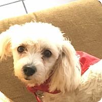 Adopt A Pet :: Buffy - Miami, FL