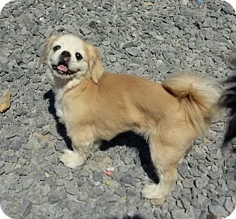 Pekingese Dog for adoption in Hagerstown, Maryland - Winston