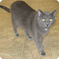 Domestic Shorthair Cat for adoption in Toledo, Ohio - Boggie