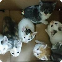 Adopt A Pet :: KITTENS! - Carey, OH