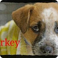 Adopt A Pet :: Porkey - Old Saybrook, CT
