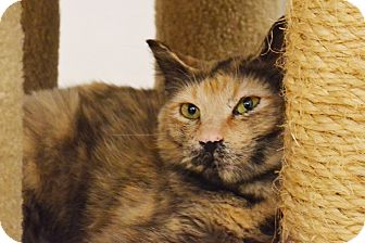 Domestic Shorthair Cat for adoption in Lincoln, Nebraska - Alyce