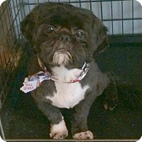 Shih Tzu Dog for adoption in Homer Glen, Illinois - Rock(y)