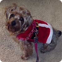 Yorkie, Yorkshire Terrier Dog for adoption in Orange County, California - Max