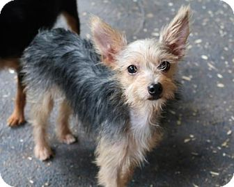 Yorkie, Yorkshire Terrier/Rat Terrier Mix Dog for adoption in Bedminster, New Jersey - Damby