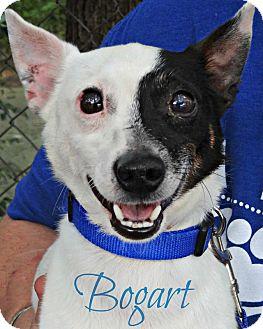 Jack Russell Terrier Dog for adoption in Roanoke, Virginia - Bogart