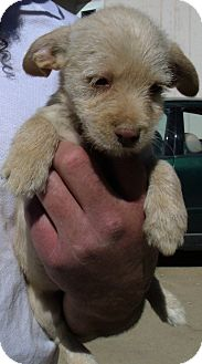 Chihuahua/Terrier (Unknown Type, Small) Mix Puppy for adoption in Corona, California - MIX & MAX PUPS C