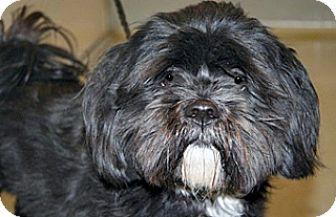 Lhasa Apso Mix Dog for adoption in Wildomar, California - Jeremy