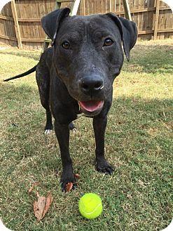 Patterdale Terrier (Fell Terrier)/Pit Bull Terrier Mix Dog for adoption in Atlanta, Georgia - Remi