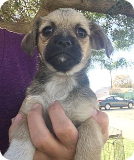Pug/Shih Tzu Mix Puppy for adoption in Temecula, California - Tilly
