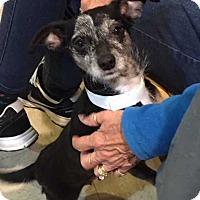 Adopt A Pet :: Maxine Courtesy Post - Elmsford, NY