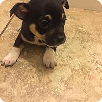 Adopt A Pet :: Boldo - Bakersfield, CA